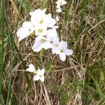 Cuckoo flower