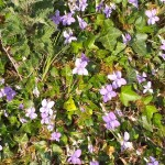 Violets with Ivy and Nettles