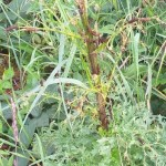 Cinnabar Moth Caterpillars having a feast on a Ragwort plant